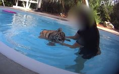 The United States Department of Agriculture (USDA) has reportedly ordered Dade City's Wild Things to end its tiger cub swimming encounters and pay a $21,000 fine for exposing the animals to