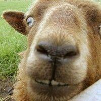 """Goat"" rodeo"