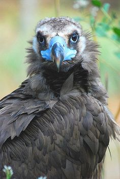 The Cinereous Vulture (Aegypius monachus) is a large raptorial bird that is distributed through much of Eurasia. It is also known as the Black Vulture, Monk Vulture, or Eurasian Black Vulture. It is a member of the family Accipitridae, which also includes many other diurnal raptors such as kites, buzzards and harriers. It is one of the two largest old world vultures.
