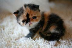 baby persian =)
