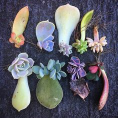 Tips for propagating succulents from leaves and cuttings - succulent box - Pflanzen, Anzucht und Vermehrung Propagate Succulents From Leaves, Baby Succulents, Growing Succulents, Planting Succulents, Planting Flowers, Indoor Succulents, Propogate Succulents, Flowering Succulents, Planting Seeds