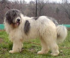 Carpathian Shepherd dog photo | Augintinis*LT - Romanian Mioritic Shepherd Dog (349)