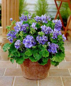 Grootbloemige geraniums lila - Jonge Plant