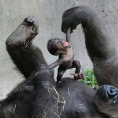 Baby gorilla and mamma playing...