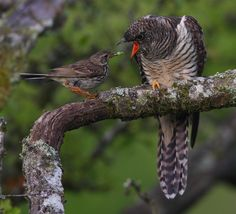 Eurasian cuckoos are brood parasites that lay their eggs in the nests of dunnocks, meadow pipits, and eurasian reed warblers