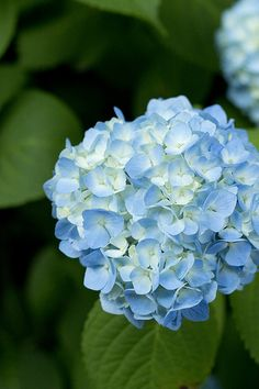 hydrangea, I love the blue ones, they remind me of my childhood summers in the country. アジサイ、青いのが大好きです。子供の頃の田舎の夏を思い出させる。