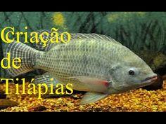 criação de tilapias 1- 2