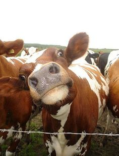 Cute and funny cow Farm Animals, Animals And Pets, Funny Animals, Cute Animals, Animal Memes, Beautiful Creatures, Animals Beautiful, Tierischer Humor, Cute Cows