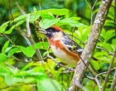 Bay-breasted Warbler, backyard, Black Mountain, NC