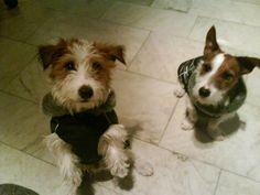 Pooter & Percy, the cute little dogs of Simon & Thomas (http://simontomas.blog.mtgnewmedia.se/)
