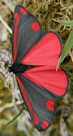 Stunning red and black butterfly Butterfly Pictures, Red Butterfly, Beautiful Bugs, Beautiful Butterflies, Beautiful Flowers, Beautiful Creatures, Animals Beautiful, Butterfly Species, Flying Flowers