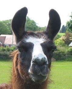 Chloe by Hillview Llamas, Frodsham, UK on Llamas, Chloe, Animals, Animaux, Animal, Animales, Animais