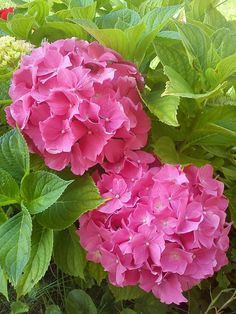 Find images and videos about nature, garden and pink flowers on We Heart It - the app to get lost in what you love. Hortensia Hydrangea, Hydrangea Garden, Hydrangea Flower, My Flower, Flowers Garden, Amazing Flowers, Beautiful Roses, Beautiful Gardens, Pink Flowers