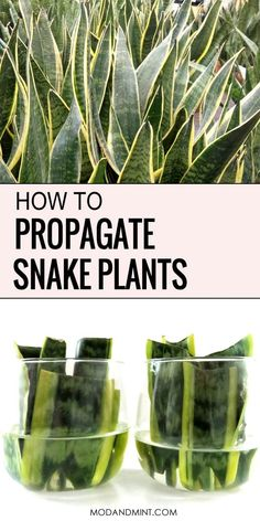 Grow your plant collection by propagating your Sansevieria snake plant. It's free and totally easy to do! Grow your plant collection by propagating your Sansevieria snake plant. It's free and totally easy to do! Snake Plant Propagation, Plant Cuttings, Sansevieria Plant, Garden Plants, Indoor Plants, House Plants, Garden Shrubs, Balcony Plants, Snake Plant Care