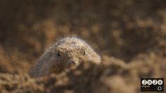 Wildlands Emmen  . #Prairiedog, #Wildlands, #Emmen, #Serenga.