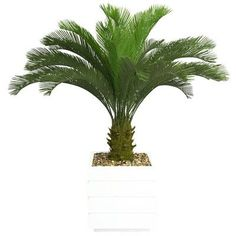 Laura Ashley Home Tall Cycas Palm Floor Tree in Planter Base Color: White
