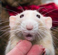 Cute rat x Hamsters, Gerbil, Rodents, Funny Animals, Cute Animals, Small Animals, Dumbo Rat, Fancy Rat, Cute Rats
