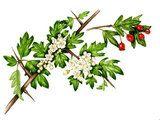 Watercolour illustration of Hawthorn; flowers, leaf, fruit and twig (Crataegus monogyna)