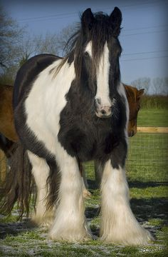 Gypsy Vanner Horse - Mare - Tom Price's Fields