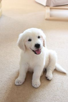 Golden retriever 10 week old puppy via Super Cute Puppies, Cute Baby Dogs, Cute Dogs And Puppies, Doggies, White Lab Puppies, Cute Puppy Pictures, Dogs Golden Retriever, English Golden Retrievers, Retriever Dog
