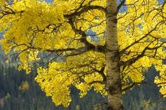 Aspen tree, Ogham symbol of Eabhadh, represents Endurance