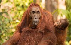 Weolcome to Borneo Orangutan Tours - http://www.orangutantourist.com/borneo-tours/-orangutan-wildlife-safari-3d-2n #orangutantours #borneoorangutantours #borneotours