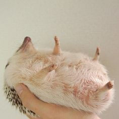 Look how soft. | 19 Pictures Of Hedgehog Bellies That Prove Everyone Has A Soft Side