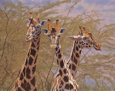 "This charming Giraffe Print ""The Three Amigos"" by Gary Johnson would be a striking addition to your Safari wall decor. Giraffe Decor, Giraffe Print, Giraffe Stuffed Animal, Calming Colors, Birds Eye View, Habitats, Painting & Drawing, Sculptures, Wildlife"