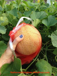 growing cantaloupe vertically – The Fervent Gardener Planting Cantaloupe, Growing Cantaloupe, Growing Melons, Container Plants, Container Gardening, Gardening Tips, Fruit Plants, Fruit Trees, Grow Bags