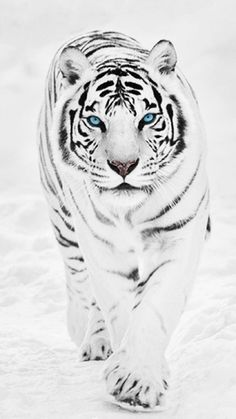 could be any animal in the world i'd be a WHITE TIGER! I love these beautiful majestic creatures!I could be any animal in the world i'd be a WHITE TIGER! I love these beautiful majestic creatures! Nature Animals, Animals And Pets, Baby Animals, Funny Animals, Cute Animals, Wild Animals, Big Cats, Cats And Kittens, Cute Cats