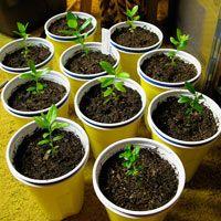 Выращивание фейхоа из семян