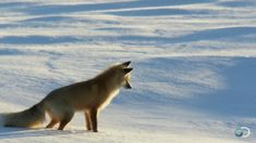 The Arctic Fox, one of the most graceful and majestic animals in the world... complete with leg twitch.