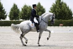 Fuego XII. Best pure spanish breed horse in Dressage.