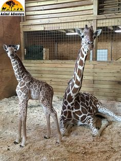 April the Giraffe with her calf.  Alyssa's Choice won name contest. Calf's name is Tajiri-Swahili for Hope, confidence, king.  Will be called Taj. 5/01/17