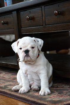 Rosey, the Bulldog puppy
