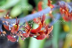 Harakeke (New Zealand Flax) in Bloom royalty-free stock photo New Zealand Flax, Flax Flowers, Annual Plants, Image Now, Close Up, Royalty Free Stock Photos, Bloom, Photography, Photograph