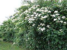 Sambucus - bazga (edelberry) - often found in hedges or garden corners in Croatia