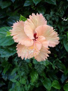 """blooms-and-shrooms: """" Hawaiian Hibiscus by joeyartist """" Beautiful Rose Flowers, Unusual Flowers, Flowers Nature, Amazing Flowers, Purple Flowers, Beautiful Flowers, Yellow Roses, Pink Roses, Hibiscus Plant"""