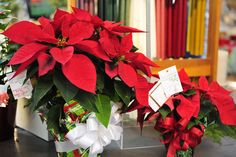 Holiday Garden Gift Basket with Red Poinsettias as the feature #holidays #Christmas #poinsettias