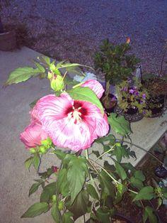 Plum Crazy Hibiscus