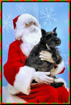 christmas schnauzer - Bing Images