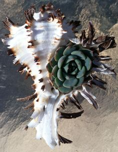 Unknown Echeveria in a really cool spiny murex shell