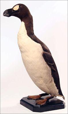 Great Auk, extinct since 1844 Great Auk, Zen, Extinct Animals, Taxidermy, Prehistoric, Mammals, Sea Shells, Creatures, Bird