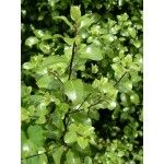 Pittosporum tenuifolium - PB3/4 (30/40) Greenleaf Nurseries Hedges, Red Flowers, Nursery, Fruit, Green, Plants, Baby Room, Living Fence, Child Room