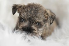 "Discover more information on ""schnauzer pups"". Look at our website. Mini Schnauzer Puppies, Miniature Schnauzer, Schnauzers, Puppy Breath, Pepper Color, Cute Puppy Videos, Pet Portraits, Snuggles, Cute Puppies"