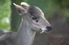 #DatoCurioso El #Ciervo de #Agua chino también conocido como ciervo vampiro se caracteriza por tener un par de destacados colmillos y a diferencia de otros ciervos no tiene cuernos. Su hábitat principal se encuentra en lugares cercanos a ríos, así como en pantanos, montañas, pastizales y campos cultivados. El ciervo vampiro es un nadador competente, pues puede nadar varios kilómetros para llegar a islas remotas.