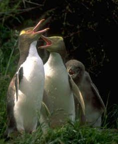 "Yellow-eyed penguins:Native to New Zealand, 24-31"" in height, 12-18 lbs. some live up to 20 years."