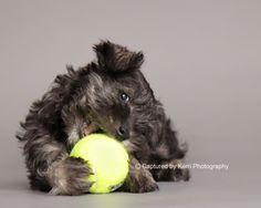 Sookie by Captured by Kerri Photography #Miniature #Schnauzer