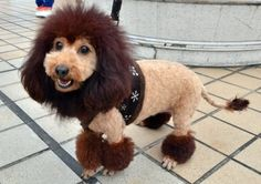 A dog trimmed to look like a lion walks on the rooftop of the Mitsukoshi department store in Tokyo. One hundred lion pooches dressed up as lions gathered to celebrate the 100th anniversary of Mitsukoshi department store's famous mascot