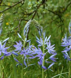 Vivid sky blue camassia, tall and elegant through grass.